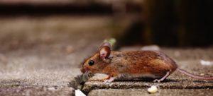 עכברים ראשית